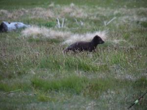 An Arctic Fox, at Hofn campsite